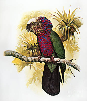 Photograph - Hawk-headed Parrot by William T Cooper
