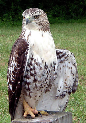 Belinda Landtroop Royalty-Free and Rights-Managed Images - Hawk in Poise  by Belinda Landtroop