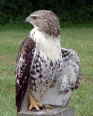 Belinda Landtroop Photos - Hawk Looking for Lunch by Belinda Landtroop