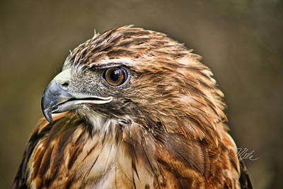 Photograph - Red-tailed Hawk by Meta Gatschenberger