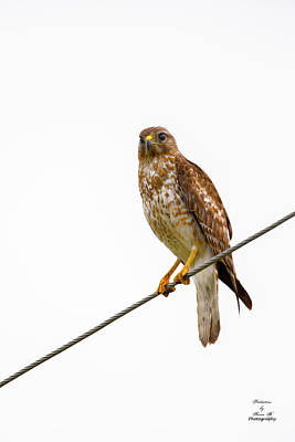 Photograph - Hawk On A Wire by Kevin Banker