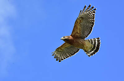 Photograph - Hawk On The Go by William Tasker