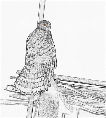 Photograph - Hawk Photo Sketch by Debbie Stahre