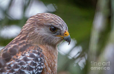 Photograph - Hawk Portrait by Tom Claud