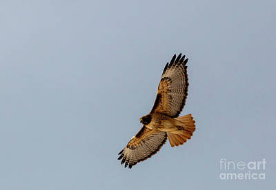 Photograph - Hawk Soaring Above The Rockies by Steve Krull
