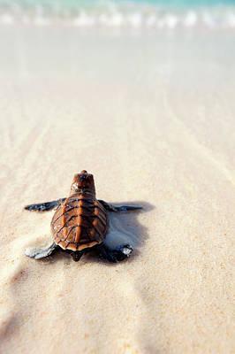 Photograph - Hawksbill Turtle Eretmochelys by Martin Harvey