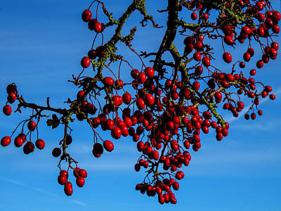 Colorful People Abstract - Hawthorn Berries by Keith Elliott