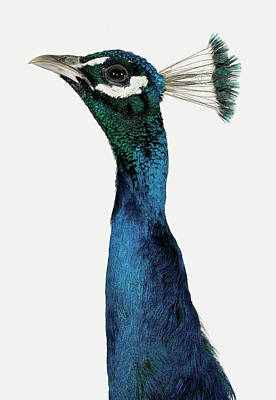 Photograph - Head And Neck Of A Peacock by Digital Zoo