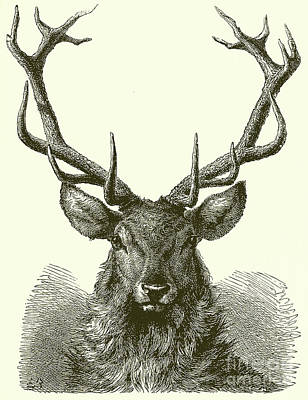 Drawing - Head Of A Male Red Deer by English School