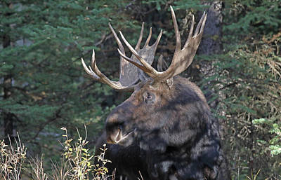 Photograph - Head Study Of Bull Moose by Jean Clark