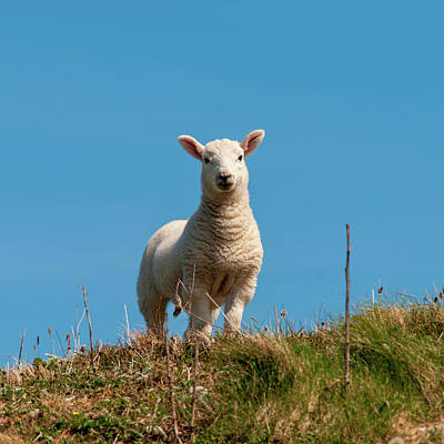 Mixed Media - Hebridean Lamb by Smart Aviation