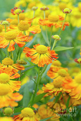 Photograph - Helenium Oldenburg Flowering by Tim Gainey