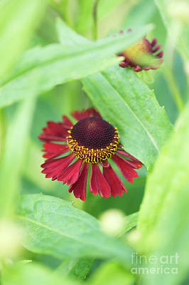 Art Print featuring the photograph Helenium Ruby Tuesday Flower by Tim Gainey