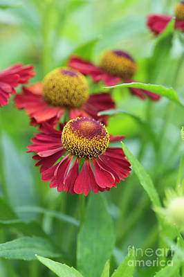 Photograph - Helenium Ruby Tuesday by Tim Gainey