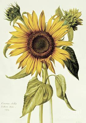 Painting - Helianthus Annuus  Sunflower by Nicolas Robert