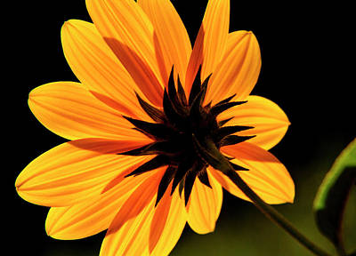 Photograph - Helianthus by Dawn J Benko