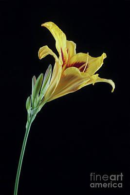 Lilies Royalty-Free and Rights-Managed Images - Hemerocallis Bonanza by John Edwards