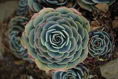 Photograph - Hen And Chicks Succulent by John Rodrigues