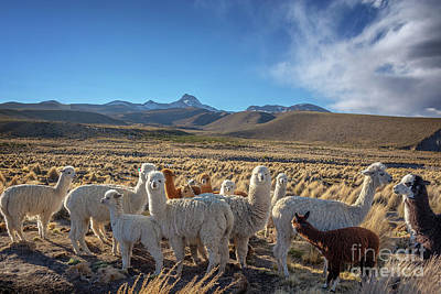 Alpaca Wall Art - Photograph - Herd Of Alpacas, Bolivia by Delphimages Photo Creations