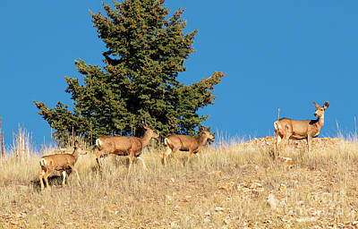 Photograph - Herd Of Colorado Deer by Steve Krull