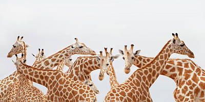 Togetherness Photograph - Herd Of Giraffe by Grant Faint