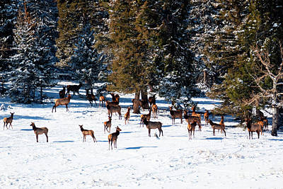 Photograph - Herd Of Rocky Mountain Elk by Steve Krull