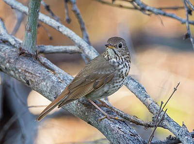 Photograph - Hermit Thrush by Loree Johnson