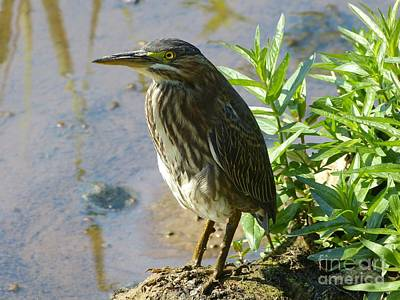 Photograph - Heron At Redman by Donald C Morgan