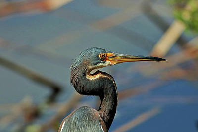 Photograph - Heron At Six Mile by Michiale Schneider