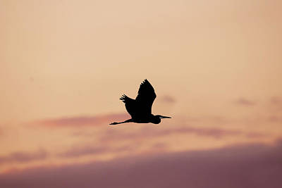 Winter Animals Rights Managed Images - Heron Flying at Sunset Royalty-Free Image by Judy Tomlinson