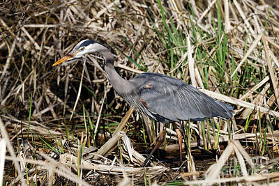 Photograph - Heron In The Marsh Shadows by Sue Harper