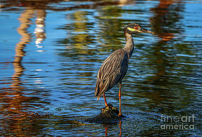Photograph - Heron On Rock by Tom Claud