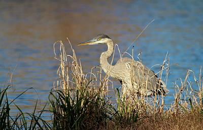 Photograph - Heron Scans For Prey by Cynthia Guinn