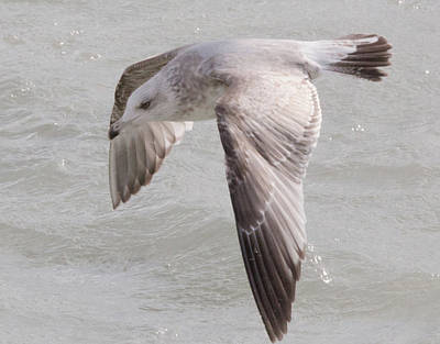 Word Signs - Herring Gull by Safe Haven Photography Northwest
