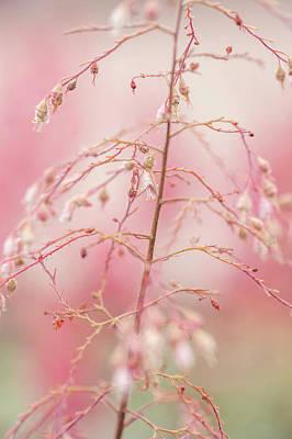 Photograph - Heuchera Melting Fire. Tenderness by Jenny Rainbow