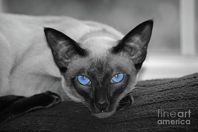 Hey There Blue Eyes - Siamese Cat Art Print