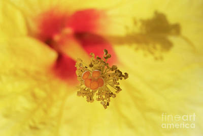 Royalty-Free and Rights-Managed Images - Hibiscus Heart by Mike Dawson