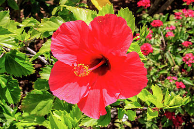 Photograph - Hibiscus In Hawaii by Dawn Richards