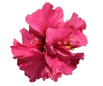 Drawing - Hibiscus Pink Double by Joan Stratton