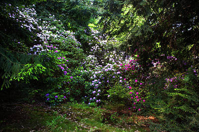 Catch Of The Day - Hidden Beauty. Blooming Rhododendrons  by Jenny Rainbow