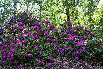 Photograph - Hidden In Shadow. Fairy Rhododendron Woods 1 by Jenny Rainbow