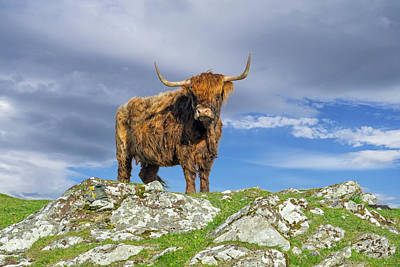 Photograph - Highland Cattle, Scotland by Arterra Picture Library