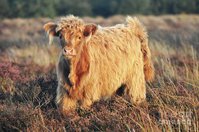 Photograph - Highland Cattle by Yhun Suarez