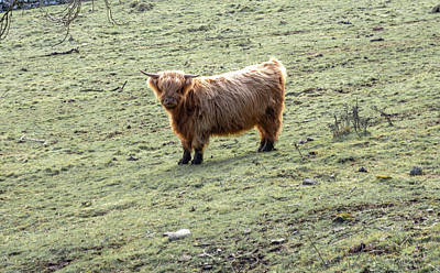 Photograph - Highland Cow At Middleton Incline by Scott Lyons