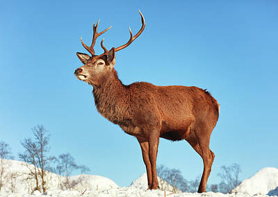Wilderness Camping - Highland Red Deer Stag by Grant Glendinning