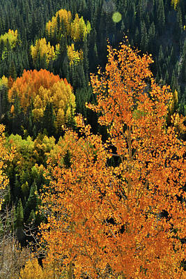 Photograph - Hillside Of Glowing Aspens by Ray Mathis