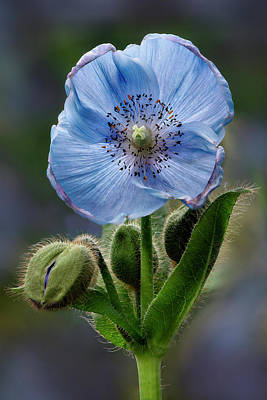 Photograph - Himalayan Blue Poppy Flower And Buds by Susan Candelario