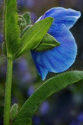 Photograph - Himalayan Blue Poppy Flower  by Susan Candelario