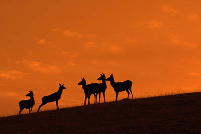 Photograph - Hinds At Sunset by Arterra Picture Library