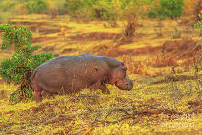 Photograph - Hippo Kruger Park by Benny Marty